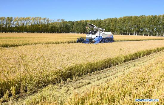 A worker drives a combine harvester to collect rice crop on Suibin farm in Hegang, northeast China's Heilongjiang Province, Sept. 16, 2018. The rice harvest season has begun in the Heilongjiang Reclamation Area. (Xinhua/Liu Hongjun)