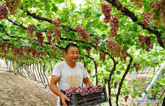 A farmer harvests grapes in Haoyao Village of Sangyuan Township in Huailai County, north China's Hebei Province, Sept. 9, 2019. Local authorities encourage farmers to plant improved grapes to increase output. At present, the grape plantation area has reached 150,000 mu (about 10,000 hectares) and annual output value has reached 1.5 billion yuan (about 210 million U.S dollars). (Xinhua/Yang Shiyao)