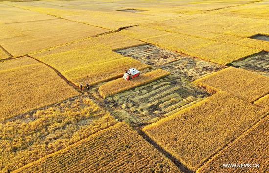 Aerial photo taken on Oct. 18, 2020 shows farmers harvesting rice in Jiangzhuang Village in Luanzhou, north China's Hebei Province. (Xinhua/Mu Yu)