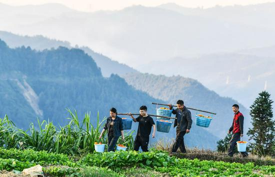 Poverty relief assistants Liu Ying (1st L) and He Changle (2nd L), as well as village officers, help carry melons planted by villagers in Dongqin Village, Congjiang County of southwest China's Guizhou Province, Nov. 11, 2020. (Xinhua/Yang Wenbin)