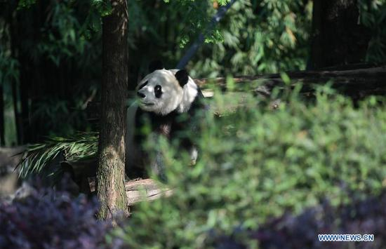 Photo taken on May 16, 2019 shows giant panda Bai Yun at the Qingchengshan Base of the China Conservation and Research Center for Giant Pandas in Dujiangyan, southwest China's Sichuan Province. Two giant pandas have returned to China after staying in the United States for years. Twenty-seven-year-old female giant panda Bai Yun and its son, six-year-old Xiao Liwu, arrived in Sichuan Province on Thursday, after the San Diego Zoo's conservation loan agreement with China ended. (Xinhua/Xue Yubin)