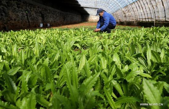 A farm worker weeds in the field in Jingxing County, Shijiazhuang, capital of north China's Hebei Province, March 6, 2019. This Wednesday marks the day of