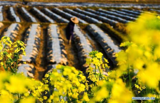 Photo taken on March 13, 2019 shows a farmer working in fields at Tingxi Village of Xiajiang County in Ji'an City, east China's Jiangxi Province. (Xinhua/Zeng Shuangquan)