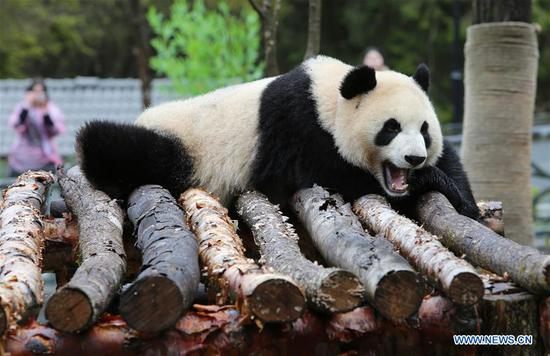 Giant panda Xin Xin is seen having a rest at the newly-opened Jiawuhai Giant Panda Conservation and Research Park in Jiuzhaigou County, the Aba Tibetan and Qiang Autonomous Prefecture, southwest China's Sichuan Province, Nov. 6, 2019. The Jiawuhai Giant Panda Conservation and Research Park officially opened here on Wednesday. The facility will serve as the new home for four giant pandas, namely Xin Xin, Tian Tian, Hai Hai and Xiao Liwu (meaning