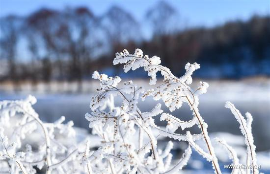 Photo taken on Nov. 20, 2019 shows frost-covered plants by an unfrozen section of the Halha River in the city of Arxan of Hinggan League, north China's Inner Mongolia Autonomous Region. Despite Arxan's frigid winter cold, this geothermally-affected, 20-kilometer section of the Halha River never freezes even when the temperature drops to as low as minus 40 degrees Celsius. (Xinhua/Peng Yuan)