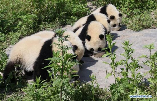 Photo taken on May 16, 2018 shows giant panda cubs in the Shenshuping giant panda protection base of Wolong National Nature Reserve in Gengda Township, southwest China's Sichuan Province. The Wolong reserve, some 30 kilometers away from the epicenter of the devastating 2008 earthquake, was severely damaged in the disaster. As a result, some pandas inhabiting the reserve had to be relocated in zoos after the quake. As years passed, Wolong still remains as a suitable habitat for giant panda. Sponsored by the government of the Hong Kong Special Administrative Region, the Shenshuping base covering an area of about 150 hectares opened on May 11, 2016. It is now home to more than 50 giant pandas. (Xinhua/Lan Hongguang)