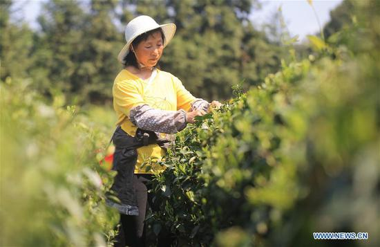 A villager picks tea leaves in the field of a tea planting base in Baogai Town of Hengnan County, central China's Hunan Province, April 7, 2019. Tea planting bases are built in Baogai to provide jobs for local villagers as a method of poverty alleviation in recent years. (Xinhua/Cao Zhengping)