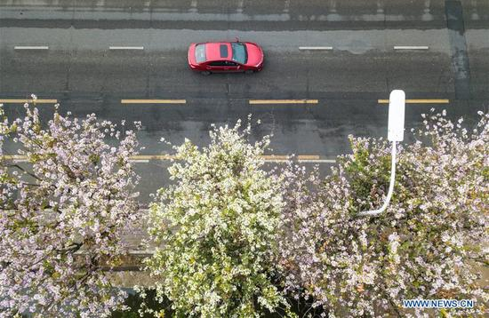 Aerial photo taken on April 4, 2018 shows a car passing by bauhinia blossoms along a street in Fuzhou, capital of southeast China's Fujian Province. (Xinhua/Song Weiwei)