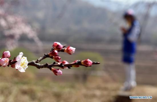 Photo taken on April 3, 2019 shows blooming apricot flowers in Tangwang Township of Dongxiang Autonomous County, Linxia Hui Autonomous Prefecture, northwest China's Gansu Province. (Xinhua/Ma Ning)