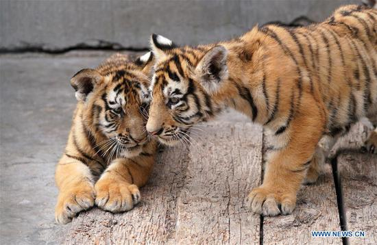 Photo taken on July 11, 2019 shows Siberian tigers at the Siberian tiger park of the China Hengdaohezi Feline Breeding Center in Hailin, northeast China's Heilongjiang Province. Over 30 Siberian tiger cubs were born in the park from the end of February this year. (Xinhua/Wang Jianwei)