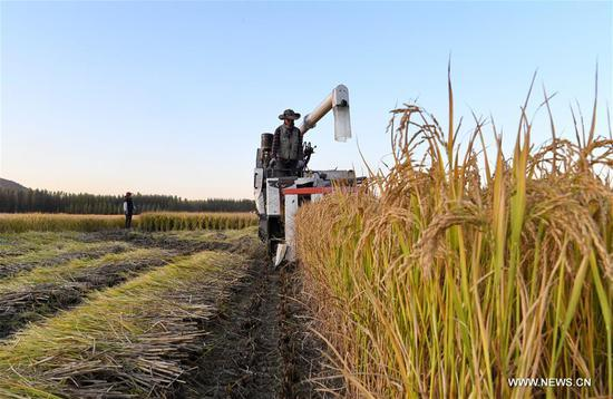 A farmer drives a harvester at a rice field in Jiangzhuang Village in Luanzhou, north China's Hebei Province, Oct. 18, 2020. (Xinhua/Mu Yu)