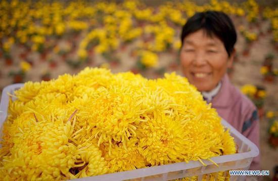 A worker displays newly-picked chrysanthemum flowers at an agriculture ecological garden in Wuzhong Village of Qiaoxi District, Xingtai, north China's Hebei Province, Nov. 17, 2019. The development of chrysanthemum planting industry in Qiaoxi District of Xingtai has acted as a way to boost locals' income. (Xinhua/Zhu Xudong)