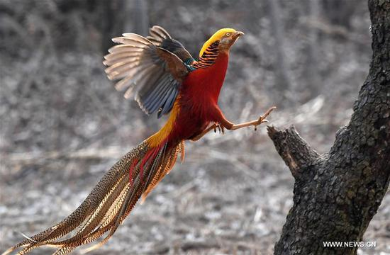 A golden pheasant sports in the woods of Mengcun Village in Ruyang County, central China's Henan Province, March 5, 2019. (Xinhua/Li An)