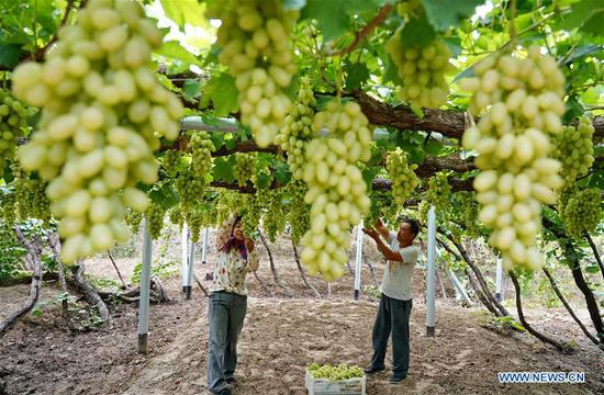 Farmers pick grapes in Haoyao Village of Sangyuan Township in Huailai County, north China's Hebei Province, Sept. 9, 2019. Local authorities encourage farmers to plant improved grapes to increase output. At present, the grape plantation area has reached 150,000 mu (about 10,000 hectares) and annual output value has reached 1.5 billion yuan (about 210 million U.S dollars). (Xinhua/Yang Shiyao)