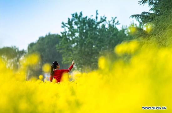 A visitor takes photos in a cole flower field in Xishimen Village of Wu'an City, north China's Hebei Province, April 7, 2019. (Xinhua/Wang Xiao)