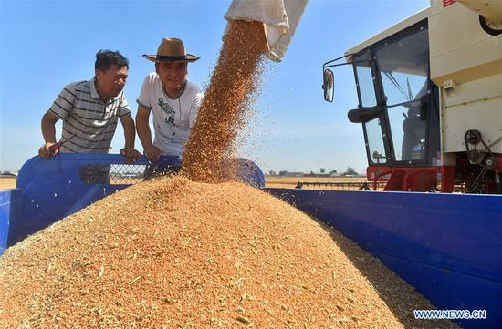 Liu Hebin (R) checks the newly harvested wheat grains at Gaocheng District of Shijiazhuang, north China's Hebei Province, June 10, 2019. China's agriculture sector has seen rapid growth over the past 70 years, with grain output expanding 4.8 times, according to a report from the National Bureau of Statistics (NBS). China's grain output grew at an average annual rate of 2.6 percent from 1949 to reach 658 billion kg in 2018, managing to feed around 20 percent of the world's population with only less than 9 percent of the world's arable land, according to the report. The country increased the diversity of food supply by developing the breeding industry, with the output of aquatic products ranking first in the world since 1989, which stood at 64.6 million tonnes in 2018, 143 times higher than 1949. The structure of the agriculture industry was continuously optimized, with a modern pattern promoting all-round development of farming, forestry, animal husbandry and fishery replacing the traditional farming pattern, the NBS said. Scale operation of agriculture was enhanced by the progress of rural land circulation. Over 35 million hectares of family contracted farmland was circulated in 2018, posing a sharp contrast to the 58 million mu in 2004. The country also fostered new types of entities of agricultural production and service. By the end of 2018, 600, 000 family farms and 2.17 million farmer cooperatives had been registered. (Xinhua/Zhang Xiaofeng)