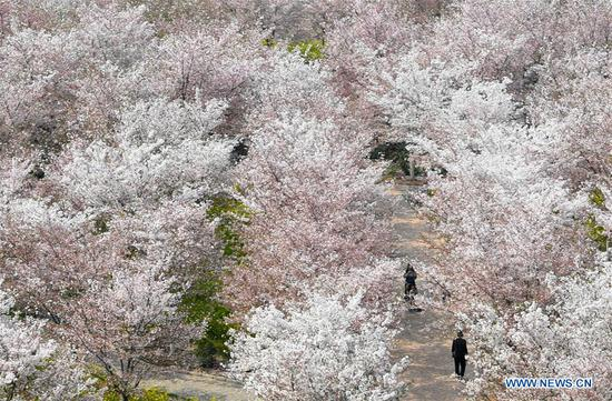Photo taken on March 24, 2020 shows the cherry blossoms at a cherry tree garden in Xingyang, central China's Henan Province. (Xinhua/Hao Yuan)