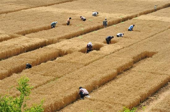 Staff members work in test field of Nanpi Eco-Agricultural Experimental Station of the Chinese Academy of Sciences (CAS) in Nanpi County, north China's Hebei Province, June 12, 2018. Workers of the experimental station are busy sampling and calculating output of a project to boost agricultural innovation and increase crop production. (Xinhua/Mu Yu)