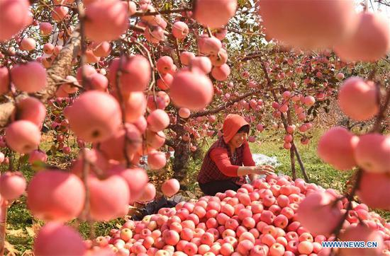 A farmer sorts out apples in an orchard at Houshuibei Village in Yiyuan County, east China's Shandong Province, on Oct. 12, 2018. (Xinhua/Zhao Dongshan)