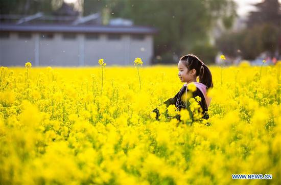 A child is seen in a cole flower field in Xishimen Village of Wu'an City, north China's Hebei Province, April 7, 2019. (Xinhua/Wang Xiao)