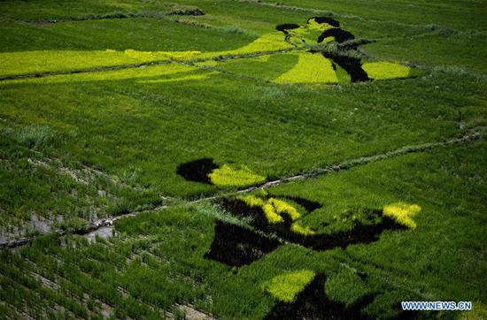 Photo taken on Aug. 18, 2019 shows patterns in rice fields in Nadaqiniru Township of Qapqal Xibe Autonomous County, northwest China's Xinjiang Uygur Autonomous Region. (Xinhua/Sadat)