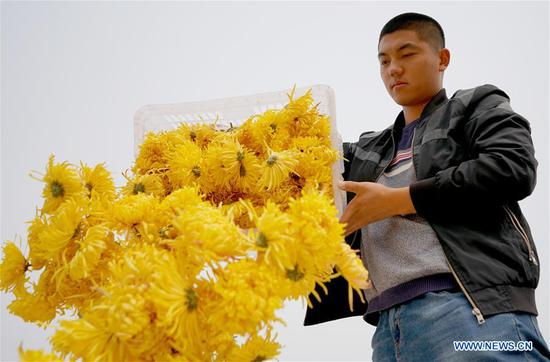 A worker collects newly-picked chrysanthemum flowers at an agriculture ecological garden in Wuzhong Village of Qiaoxi District, Xingtai, north China's Hebei Province, Nov. 17, 2019. The development of chrysanthemum planting industry in Qiaoxi District of Xingtai has acted as a way to boost locals' income. (Xinhua/Zhu Xudong)