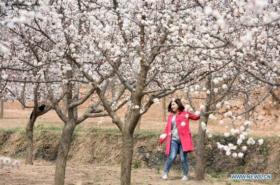A tourist visits an apricot forest in full bloom in Tangwang Township of Dongxiang Autonomous County, Linxia Hui Autonomous Prefecture, northwest China's Gansu Province, April 3, 2019. (Xinhua/Ma Ning)