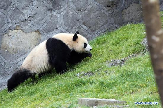 Giant panda Xin Xin is seen crawling at the newly-opened Jiawuhai Giant Panda Conservation and Research Park in Jiuzhaigou County, the Aba Tibetan and Qiang Autonomous Prefecture, southwest China's Sichuan Province, Nov. 6, 2019. The Jiawuhai Giant Panda Conservation and Research Park officially opened here on Wednesday. The facility will serve as the new home for four giant pandas, namely Xin Xin, Tian Tian, Hai Hai and Xiao Liwu (meaning