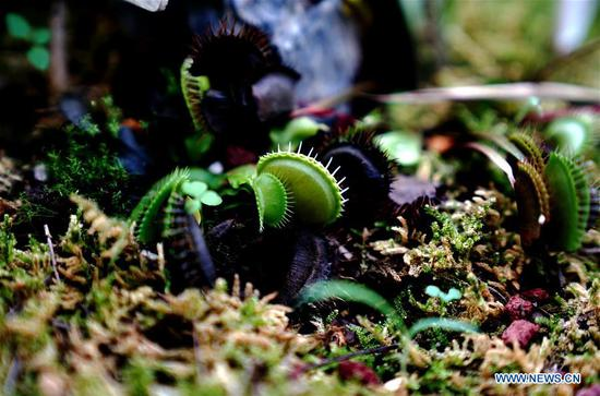 Photo taken on Oct. 11, 2020 shows the venus flytrap in Shanghai Botanical Garden in east China's Shanghai. More than 250 varieties of insectivorous plants are on display during the 2nd Insectivorous Plant Exhibition. (Xinhua/Zhang Jiansong)