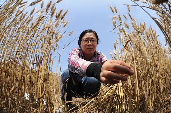A staff member works in test field of Nanpi Eco-Agricultural Experimental Station of the Chinese Academy of Sciences (CAS) in Nanpi County, north China's Hebei Province, June 12, 2018. Workers of the experimental station are busy sampling and calculating output of a project to boost agricultural innovation and increase crop production. (Xinhua/Mu Yu)