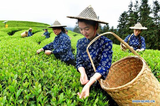 Tea farmers pick tea leaves at an ecological tea garden at Chaoyang Village of Xingcun Township in Wuyishan, southeast China's Fujian Province, April 14, 2019. China's agriculture sector has seen rapid growth over the past 70 years, with grain output expanding 4.8 times, according to a report from the National Bureau of Statistics (NBS). China's grain output grew at an average annual rate of 2.6 percent from 1949 to reach 658 billion kg in 2018, managing to feed around 20 percent of the world's population with only less than 9 percent of the world's arable land, according to the report. The country increased the diversity of food supply by developing the breeding industry, with the output of aquatic products ranking first in the world since 1989, which stood at 64.6 million tonnes in 2018, 143 times higher than 1949. The structure of the agriculture industry was continuously optimized, with a modern pattern promoting all-round development of farming, forestry, animal husbandry and fishery replacing the traditional farming pattern, the NBS said. Scale operation of agriculture was enhanced by the progress of rural land circulation. Over 35 million hectares of family contracted farmland was circulated in 2018, posing a sharp contrast to the 58 million mu in 2004. The country also fostered new types of entities of agricultural production and service. By the end of 2018, 600, 000 family farms and 2.17 million farmer cooperatives had been registered. (Xinhua/Wei Peiquan)