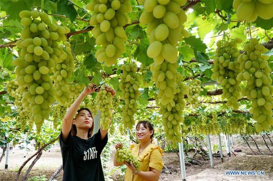Tourists pick grapes in Haoyao Village of Sangyuan Township in Huailai County, north China's Hebei Province, Sept. 9, 2019. Local authorities encourage farmers to plant improved grapes to increase output. At present, the grape plantation area has reached 150,000 mu (about 10,000 hectares) and annual output value has reached 1.5 billion yuan (about 210 million U.S dollars). (Xinhua/Yang Shiyao)