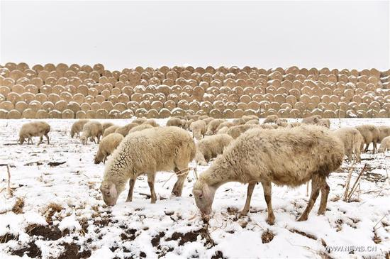 Sheep graze on a snow-covered field in Tianjin, north China, April 5, 2018. A cold front brought snowfall to parts of China in these days. (Xinhua/Yue Yuewei)