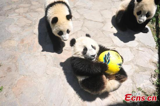 Giant pandas play football at Wolong Shenshuping Base of China Conservation and Research Center for Giant Pandas in Ngawa Tibetan and Qiang Autonomous Prefecture, Southwest China's Sichuan Province. Eight pandas, all born in 2017, will participate in six events during the World Cup from June 14 to July 15 on iPanda.com, China's giant panda cam TV channel, according to the center. (Photo/VCG)