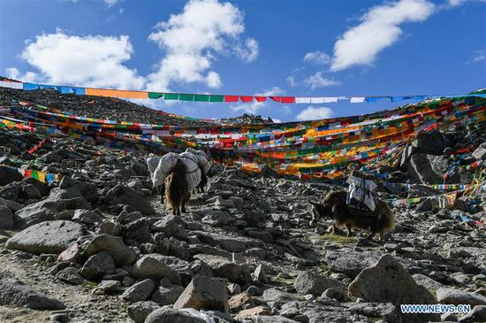 A yak team of Gangsha Village conveys travelling bags for pilgrims in Ali Prefecture, southwest China's Tibet Autonomous Region, June 25, 2018. Gangsha Village is located at the foot of Mount Kangrinboqe, a sacred Hindu and Buddhist site in Ali. Since the 1980s, local farmers and herdsmen have started to receive pilgrims and tourists from home and abroad. They upgraded services of tourism industry in the past 30 years, and tourism increased villagers' income. (Xinhua/Liu Dongjun)