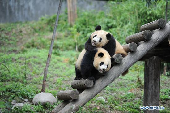 Giant panda cubs Lu Lu (L) and Qiang Sheng play at the Shaanxi Rare Wild Animals Rescue and Breeding Research Center in northwest China's Shaanxi Province, Sept. 7, 2018. Four giant panda cubs, born at the center in 2017, grow well now. (Xinhua/Zhang Bowen)