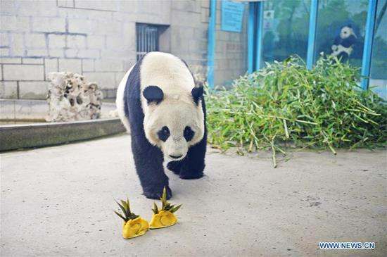 A giant panda eats special dumplings with fruits and vegetables as fillings to greet the upcoming Spring Festival at Tianjin Zoo in Tianjin, north China, Feb. 2, 2019. The Spring Festival, or the Chinese Lunar New Year, falls on Feb. 5 this year. (Xinhua/Shi Songyu)