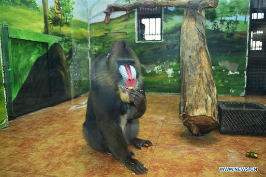 A mandrill eats a special dumpling with fruits and vegetables as fillings to greet the upcoming Spring Festival at Tianjin Zoo in Tianjin, north China, Feb. 1, 2019. The Spring Festival, or the Chinese Lunar New Year, falls on Feb. 5 this year. (Xinhua/Shi Songyu)