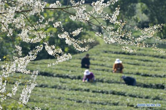 Farmers pick early spring tea leaves in Zhiyaoping Village of Wanzhai Township, Xuan'en County, central China's Hubei Province, March 11, 2019. With the temperature rising, farmers are busy with their farm work. (Xinhua/Song Wen)