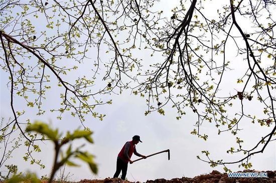 A farmer works in an orchard in Zhangjiazhuang Village of Yuezhuang Township, Yiyuan County, Zibo, east China's Shandong Province, April 19, 2019. (Xinhua/Zhao Dongshan)