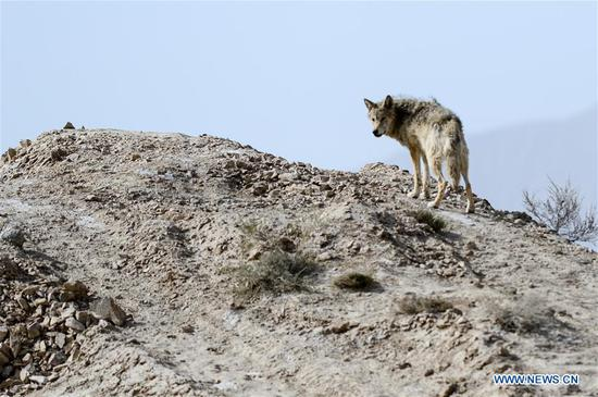 Photo taken on May 18, 2019 shows a wolf in the Altun Mountains, northwest China's Xinjiang Uygur Autonomous Region. There is a nature reserve covering 45,000 square kilometers of the Atlun Mountains, which are home to many wild lives. A lot of effort has gone into environmental protection in Altun over the past few decades. Ecosystems have regenerated on the nature reserve since it was set up in the 1980s to keep poaching, illegal trespassing and mining at bay. Some 400 km away from the uninhabited reserve, 3,000 meters above sea level, the workers are building a railway connecting cities in the northwestern provinces of Xinjiang and Qinghai. They get along quite well with unlikely neighbors. (Xinhua/Ding Lei)