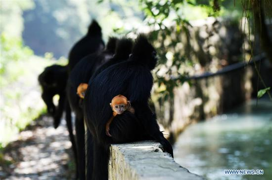 Francois' langurs are seen with their babies in the Mayanghe National Nature Reserve in Guizhou Province, southwest China, June 4, 2019. Thanks to a series of protective measures, the number of Francois' langurs in the Mayanghe National Nature Reserve has been increasing in recent years. According to latest official statistics, there are currently more than 550 Francois' langurs in the nature reserve. Also known as Francois' leaf monkeys, the species is one of China's most endangered wild animals and is under top national-level protection. It is also one of the endangered species on the International Union for Conservation of Nature red list. The species are found in China's Guangxi, Guizhou and Chongqing. (Xinhua/Yang Wenbin)