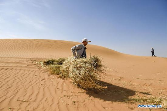Photo taken on June 13, 2019 shows people carrying straw in Changliushui desert area of Zhongwei City, northwest China's Ningxia Hui Autonomous Region. Located on the southern edge of the Tengger Desert, Zhongwei City has been curbing desertification by making straw checkerboard sand barriers and sowing with grass seeds. Some 1,470,000 mu (about 98,000 hectares) of desert has been processed in Zhongwei by the end of 2018. (Xinhua/Feng Kaihua)