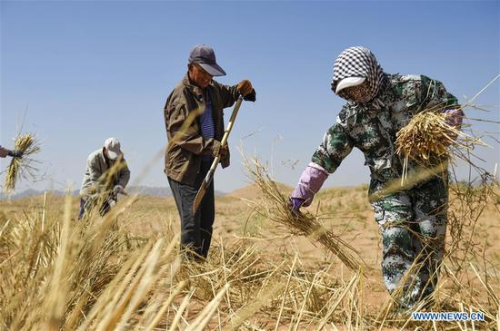 People pave straw checkerboard sand barriers to prevent and control desertification in Changliushui desert area of Zhongwei City, northwest China's Ningxia Hui Autonomous Region, June 13, 2019. Located on the southern edge of the Tengger Desert, Zhongwei City has been curbing desertification by making straw checkerboard sand barriers and sowing with grass seeds. Some 1,470,000 mu (about 98,000 hectares) of desert has been processed in Zhongwei by the end of 2018. (Xinhua/Feng Kaihua)