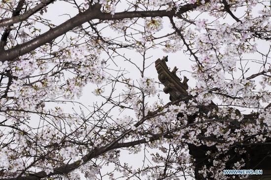 武汉大学组织校园樱花十天直播 1