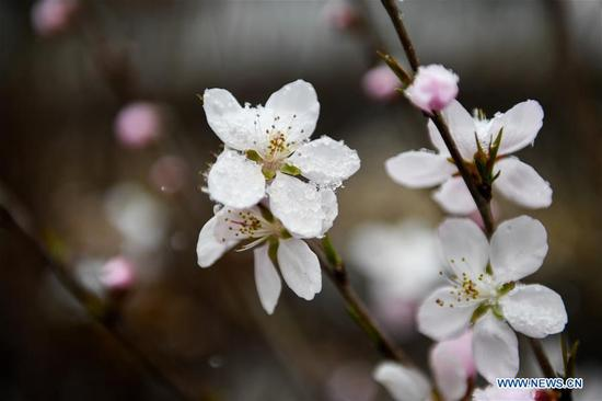 Photo taken on April 3, 2018 shows peach flowers in snow at a park in Hohhot, capital of north China's Inner Mongolia Autonomous Region. A cold front brought snowfall to the city in early spring time. (Xinhua/Liu Lei)