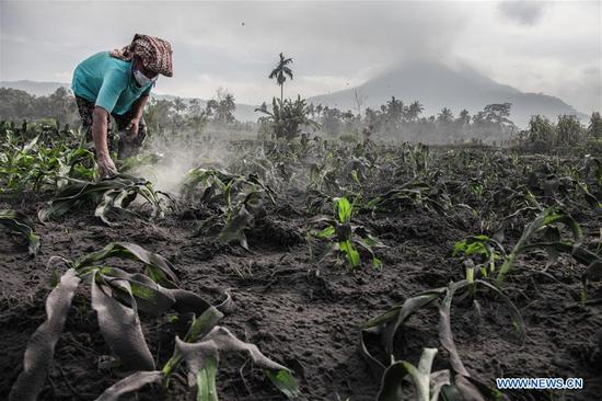 A woman cleans dust covering some vegetables after Mount Sinabung volcano spewing volcanic ash on Friday in Karo, North Sumatera, Indonesia, on April 7, 2018. (Xinhua/Alberth Damanik)