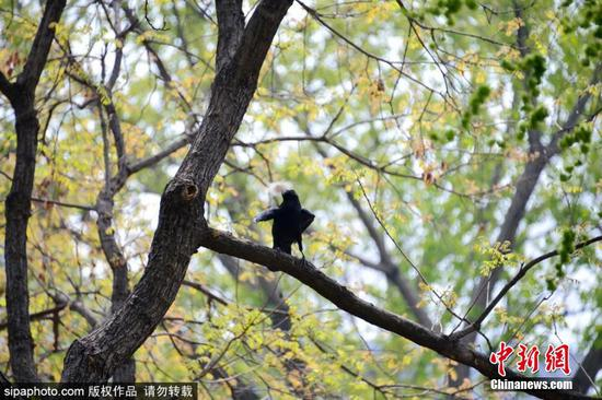 A crow in pursuit of building a perfect nest finds some bedding material on a panda's back at at Beijing Zoo in Beijing on April 9, 2018. (Photo/SipaPhoto)