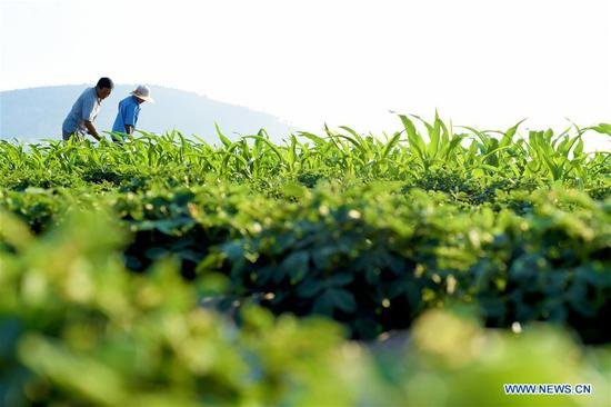 People work in the field at Xuwa Village in the Shanting District of Zaozhuang, east China's Shandong Province, July 7, 2018. Saturday marks Xiaoshu, or Lesser Heat, the 11th of the 24 solar terms in the Chinese lunar calendar which means the beginning of hot summer. (Xinhua/Liu Mingxiang)