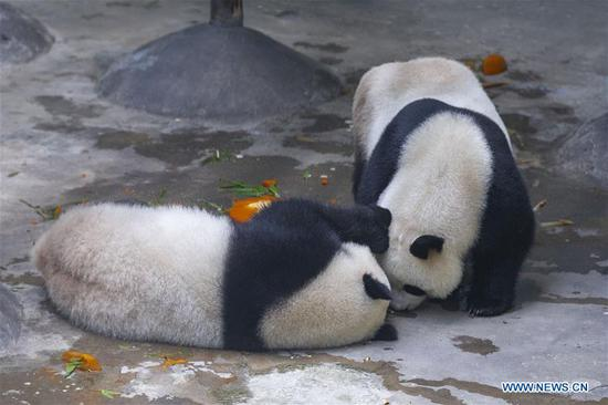 Giant panda twins Hehe and Jiujiu enjoy themselves in an air-conditioned room at the Nanjing Hongshan Forest Zoo in Nanjing, capital of east China's Jiangsu Province, Aug. 10, 2018. Staff workers at the zoo celebrated the 3rd birthday anniversary for the female giant panda twins